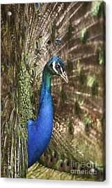 Peacock Display Acrylic Print by Richard Garvey-Williams