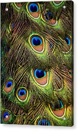Peacock Feathers Acrylic Print by Navid Baraty / Getty Images
