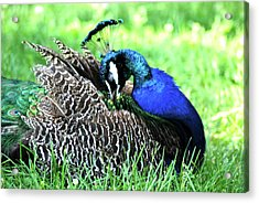 Acrylic Print featuring the photograph Peacock by Kathy Gibbons