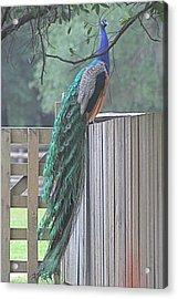 Peacock On Fence Acrylic Print by Jeanne Kay Juhos