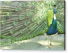 Peacock Acrylic Print by Pit Hermann