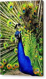 Peacock Acrylic Print by Puzzles Shum