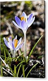 Peaking Spring Acrylic Print