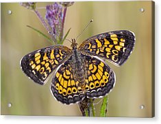 Pearl Crescent Butterfly On Wildflowers Acrylic Print by Bonnie Barry