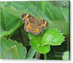Pearl Crescent Butterfly Acrylic Print by Randi Shenkman