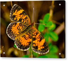 Pearl Cresent Butterfly 2 Acrylic Print by Barry Jones