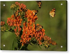 Acrylic Print featuring the photograph Pearly Crescentpot Butterflies Landing On Butterfly Milkweed by Daniel Reed