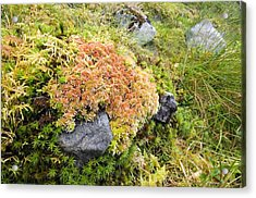 Peat Moss (sphagnum Sp.) Acrylic Print by Duncan Shaw