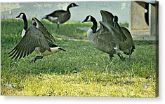 Pecking Order Acrylic Print by Debbie Sikes
