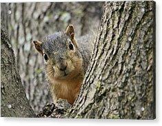 Peek A Boo Squirrel Acrylic Print by Rosanne Jordan