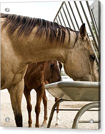 Acrylic Print featuring the photograph Peeking Pony by Lorraine Devon Wilke