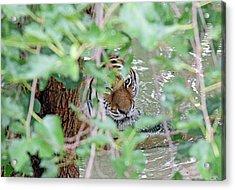 Peeping Tiger Acrylic Print