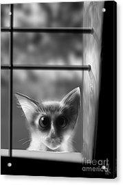 Peeping Tom Acrylic Print