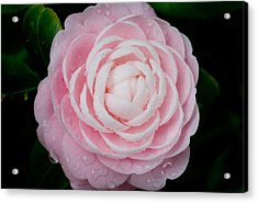 Pefectly Pink Acrylic Print by Rich Franco
