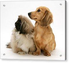 Pekingese And Dachshund Puppies Acrylic Print by Jane Burton