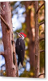 Acrylic Print featuring the photograph Peliated Woodpecker by Josef Pittner