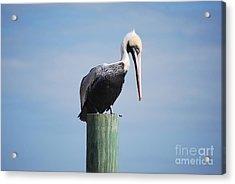 Pelican 1 Acrylic Print by Gordon Mooneyhan