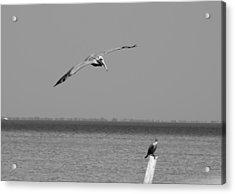 Pelican Attack Acrylic Print by Herman Boodoo