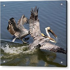 Pelican Fight Acrylic Print by Paulette Thomas