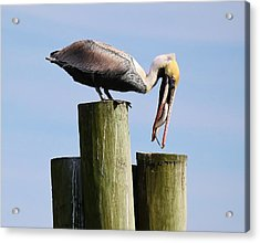 Pelican Fishing Acrylic Print by Paulette Thomas