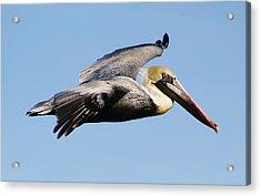 Pelican Flying High Acrylic Print by Paulette Thomas