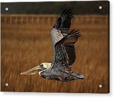 Pelican Flying Through The Marsh Acrylic Print by Paulette Thomas