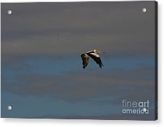 Acrylic Print featuring the photograph Pelican In Flight 4 by Blair Stuart