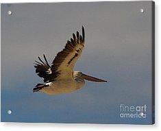 Pelican In Flight 5 Acrylic Print by Blair Stuart