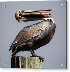 Pelican Perching Acrylic Print by Paulette Thomas