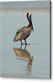 Pelican Reflections Acrylic Print