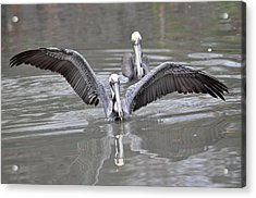 Pelican Span Acrylic Print by Teresa Blanton
