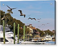 Pelicans Abound Acrylic Print by Paulette Thomas