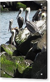Pelicans At Hammond Acrylic Print