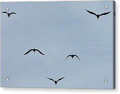 Pelicans In Flight Acrylic Print by Lorri Crossno