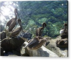 Pelicans Acrylic Print by Kathy Corday