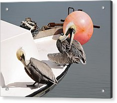 Pelicans Acrylic Print by Paulette Thomas