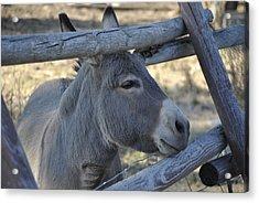 Pensive Donkey Acrylic Print