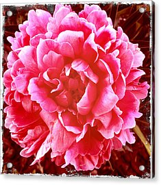 Peonie Acrylic Print by Paul Cutright