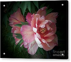 Peonies No. 8 Acrylic Print by Marlene Book