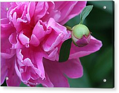 Peony And Bud Acrylic Print by Peg Toliver