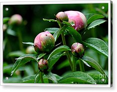 Acrylic Print featuring the photograph Peony Buds by Tanya  Searcy