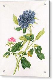 Peony Acrylic Print by Georg Dionysius Ehret