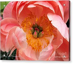 Acrylic Print featuring the painting Peony Perfect by Susan Fisher