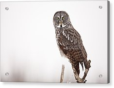 Perched Great Gray Owl Acrylic Print by Tim Grams