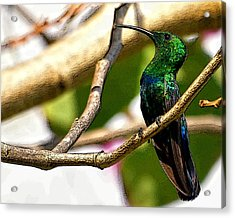 Perched Humming Bird  Acrylic Print