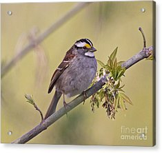 Perched White-throated Sparrow Acrylic Print by Chris Hill