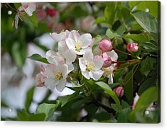 Perfect Blossoms In Portland Me Acrylic Print by Mary McAvoy