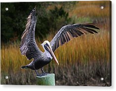 Perfect Pelican Acrylic Print by Paulette Thomas