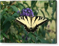 Perfectly Aligned Butterfly On Butterfly Bush Acrylic Print by Bonnie Boden