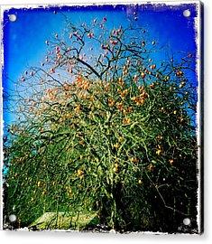 Persimmon Tree Acrylic Print
